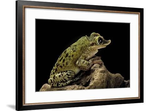 Triprion Spatulatus (Shovel-Nosed Treefrog)-Paul Starosta-Framed Art Print