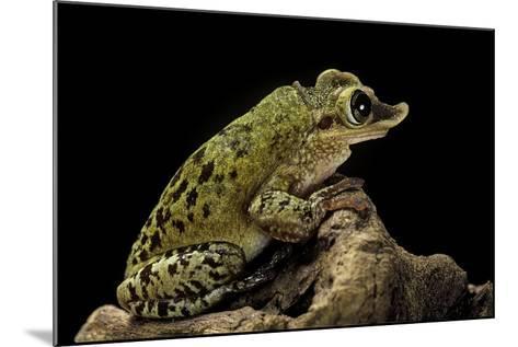 Triprion Spatulatus (Shovel-Nosed Treefrog)-Paul Starosta-Mounted Photographic Print