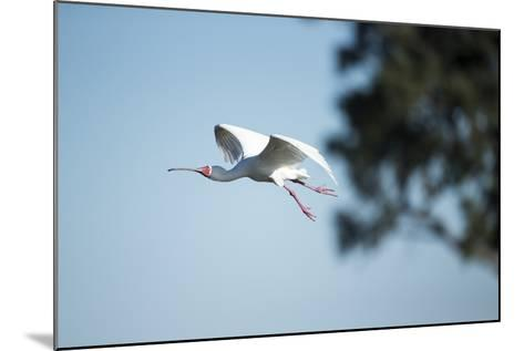 Spoonbill in Flight, Moremi Game Reserve, Botswana-Paul Souders-Mounted Photographic Print