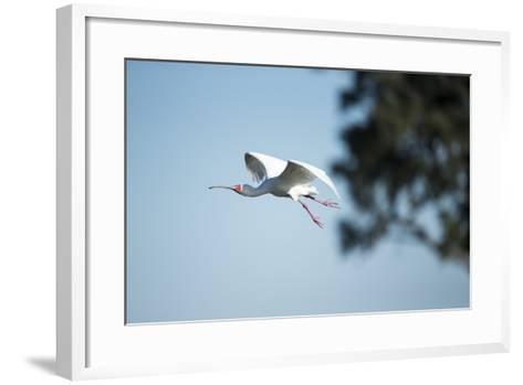Spoonbill in Flight, Moremi Game Reserve, Botswana-Paul Souders-Framed Art Print