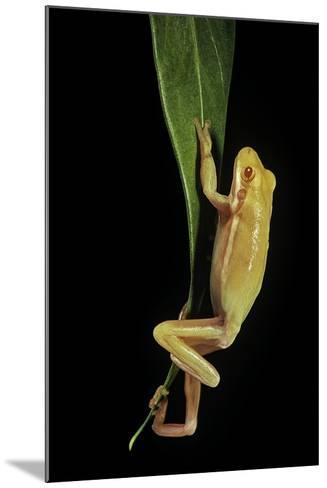 Hyla Cinerea Albino (American Green Tree Frog)-Paul Starosta-Mounted Photographic Print