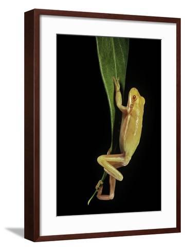 Hyla Cinerea Albino (American Green Tree Frog)-Paul Starosta-Framed Art Print
