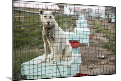Sled Dog, Rankin Inlet, Nunavut, Canada-Paul Souders-Mounted Photographic Print