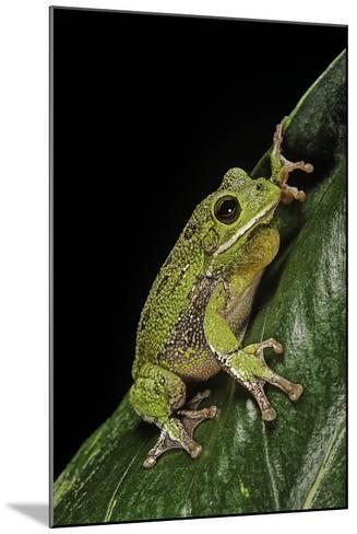 Hyla Gratiosa (Barking Treefrog)-Paul Starosta-Mounted Photographic Print