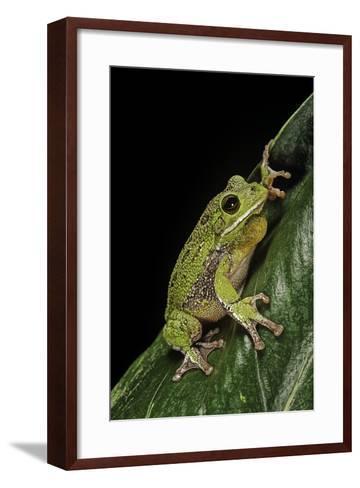 Hyla Gratiosa (Barking Treefrog)-Paul Starosta-Framed Art Print