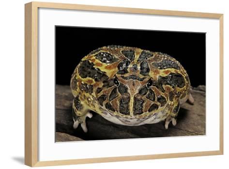 Ceratophrys Ornata (Ornate Horned Frog, Escuerzo)-Paul Starosta-Framed Art Print