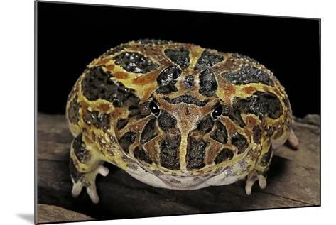 Ceratophrys Ornata (Ornate Horned Frog, Escuerzo)-Paul Starosta-Mounted Photographic Print