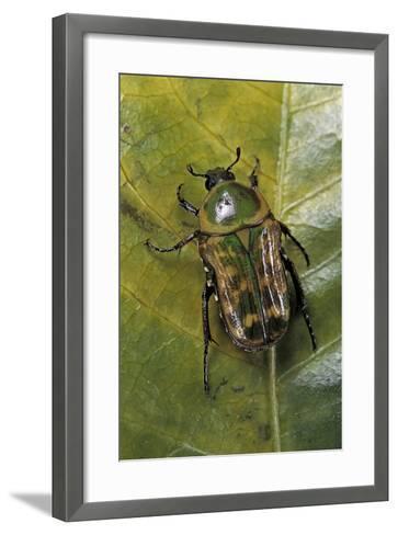 African Flower Beetle-Paul Starosta-Framed Art Print