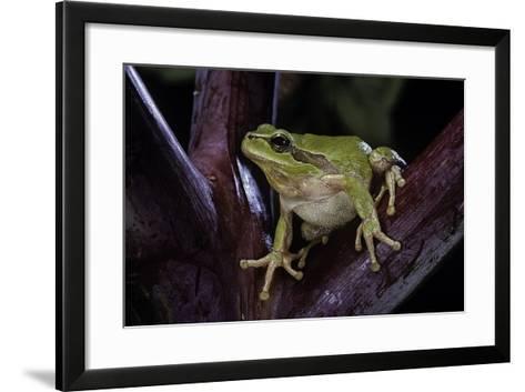 Hyla Meridionalis (Mediterranean Tree Frog)-Paul Starosta-Framed Art Print