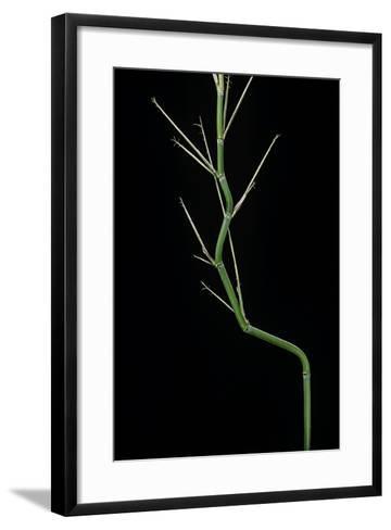 Phyllostachys Aureosulcata (Yellow Groove Bamboo) - Young Culm-Paul Starosta-Framed Art Print