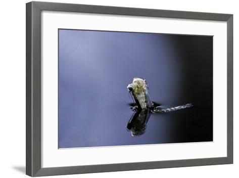 Culex Pipiens (Common House Mosquito) - Emerging (A4)-Paul Starosta-Framed Art Print