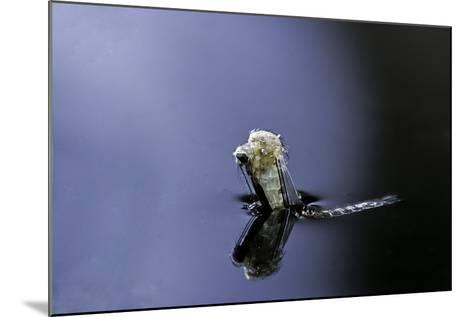 Culex Pipiens (Common House Mosquito) - Emerging (A4)-Paul Starosta-Mounted Photographic Print