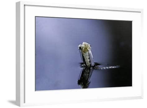 Culex Pipiens (Common House Mosquito) - Emerging (A5)-Paul Starosta-Framed Art Print