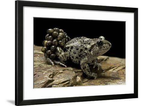 Alytes Obstetricans (Common Midwife Toad) - Male with Eggs-Paul Starosta-Framed Art Print