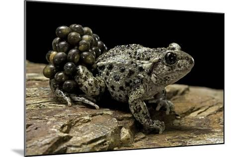 Alytes Obstetricans (Common Midwife Toad) - Male with Eggs-Paul Starosta-Mounted Photographic Print