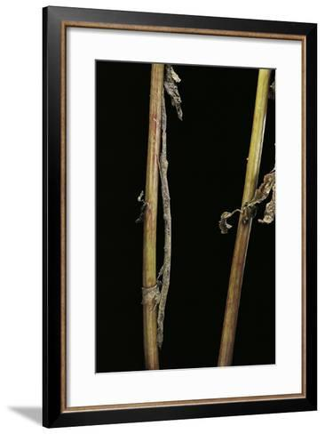 Carausius Spinosus (Pincer-End Stick Insect)-Paul Starosta-Framed Art Print