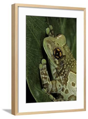 Phrynohyas Resinifictrix (Amazon Milk Frog)-Paul Starosta-Framed Art Print