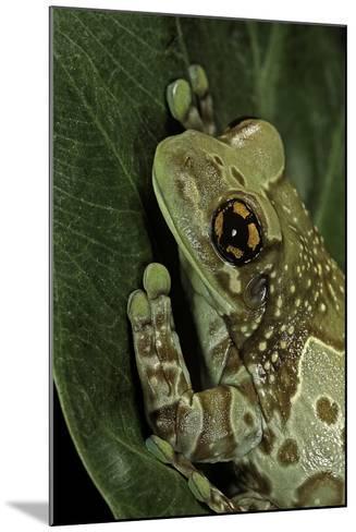 Phrynohyas Resinifictrix (Amazon Milk Frog)-Paul Starosta-Mounted Photographic Print