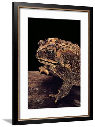 Duttaphrynus Melanostictus (Spectacled Toad)-Paul Starosta-Framed Art Print