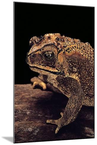 Duttaphrynus Melanostictus (Spectacled Toad)-Paul Starosta-Mounted Photographic Print