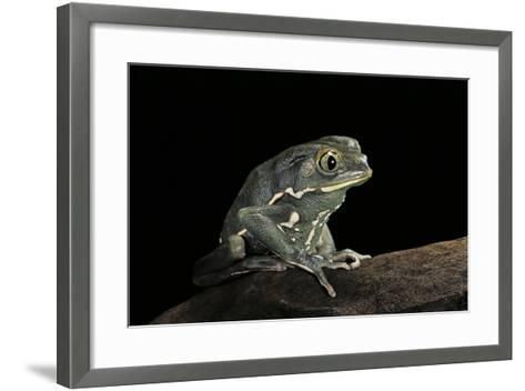 Phyllomedusa Sauvagii (Waxy Monkey Leaf Frog)-Paul Starosta-Framed Art Print