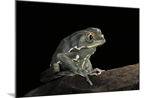 Phyllomedusa Sauvagii (Waxy Monkey Leaf Frog)-Paul Starosta-Mounted Photographic Print
