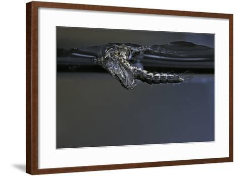 Culex Pipiens (Common House Mosquito) - Exuvia under the Water Surface-Paul Starosta-Framed Art Print
