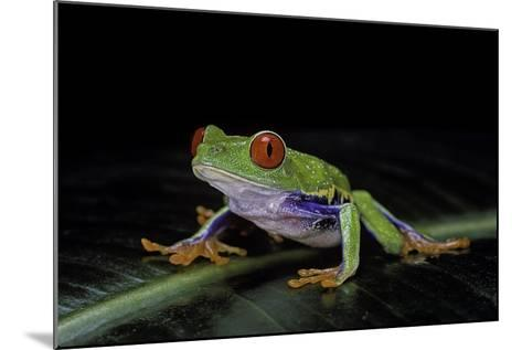 Agalychnis Callidryas (Red-Eyed Treefrog)-Paul Starosta-Mounted Photographic Print