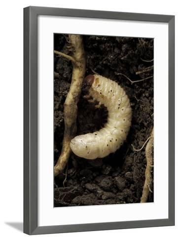 Melolontha Melolontha (Cockchafer, Maybug) - Larva or White Grub in Earth-Paul Starosta-Framed Art Print