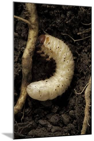 Melolontha Melolontha (Cockchafer, Maybug) - Larva or White Grub in Earth-Paul Starosta-Mounted Photographic Print