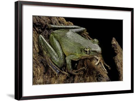 Odorrana Hosii (Poisonous Rock Frog)-Paul Starosta-Framed Art Print