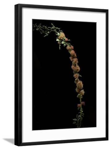 Diplolepis Rosae (Mossy Rose Gall Wasp) - Rose Bedeguar Gall-Paul Starosta-Framed Art Print