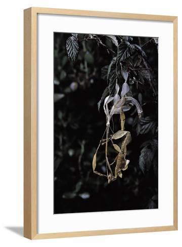 Extatosoma Tiaratum (Giant Prickly Stick Insect) - Emerging-Paul Starosta-Framed Art Print