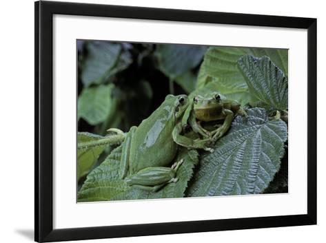 Hyla Meridionalis (Mediterranean Tree Frog) - Pair-Paul Starosta-Framed Art Print