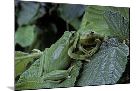 Hyla Meridionalis (Mediterranean Tree Frog) - Pair-Paul Starosta-Mounted Photographic Print