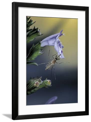 Culex Pipiens (Common House Mosquito) - on a Flower-Paul Starosta-Framed Art Print