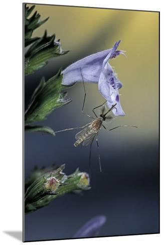Culex Pipiens (Common House Mosquito) - on a Flower-Paul Starosta-Mounted Photographic Print