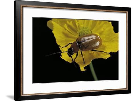 Exosoma Lusitanicum (Daffodil Leaf Beetle)-Paul Starosta-Framed Art Print