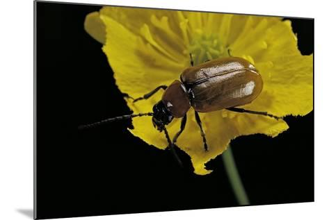 Exosoma Lusitanicum (Daffodil Leaf Beetle)-Paul Starosta-Mounted Photographic Print