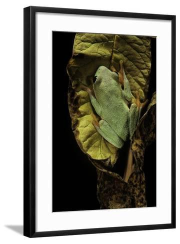 Agalychnis Moreletii (Black-Eyed Tree Frog)-Paul Starosta-Framed Art Print