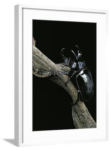 Chalcosoma Atlas (Atlas Beetle)-Paul Starosta-Framed Art Print