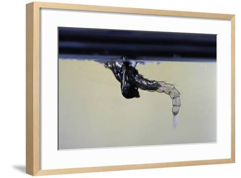 Culex Pipiens (Common House Mosquito) - Emerging from under the Water Surface-Paul Starosta-Framed Art Print