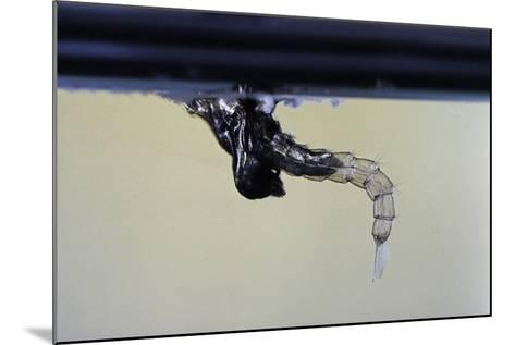 Culex Pipiens (Common House Mosquito) - Emerging from under the Water Surface-Paul Starosta-Mounted Photographic Print