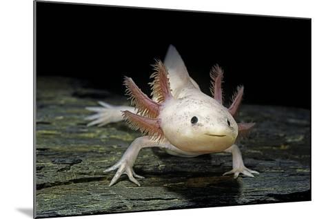 Ambystoma Mexicanum F. Leucistic (Axolotl)-Paul Starosta-Mounted Photographic Print