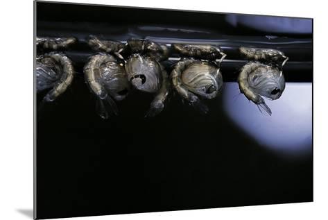 Culex Pipiens (Common House Mosquito) - Pupae-Paul Starosta-Mounted Photographic Print