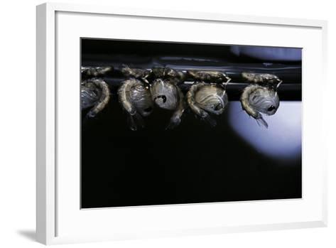 Culex Pipiens (Common House Mosquito) - Pupae-Paul Starosta-Framed Art Print