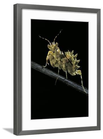 Creobroter Gemmatus (Jeweled Flower Mantis)-Paul Starosta-Framed Art Print