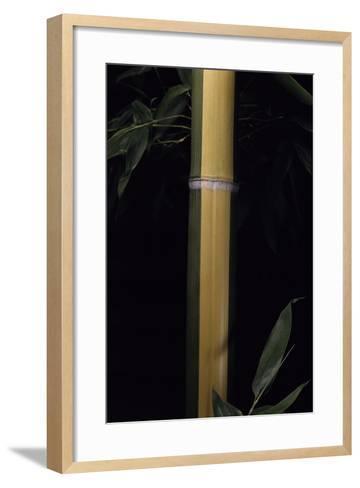 Phyllostachys Viridis 'Sulfurea' (Bamboo)-Paul Starosta-Framed Art Print