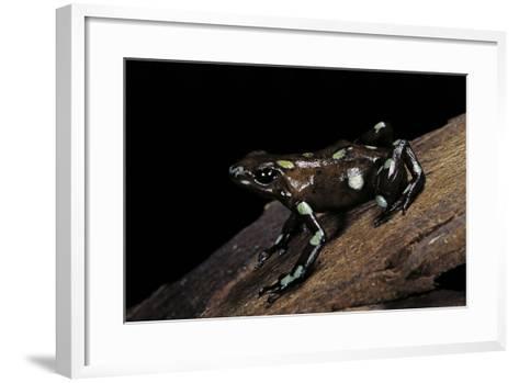Dendrobates Auratus F. Tobago (Green and Black Poison Dart Frog)-Paul Starosta-Framed Art Print