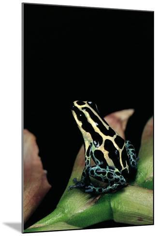 Ranitomeya Ventrimaculata (Reticulated Poison Frog)-Paul Starosta-Mounted Photographic Print